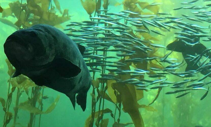 モントレー水族館がサステナブルシーフード界を牽引する秘密